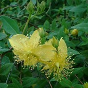 Hypericum kouytchense added by Shoot)