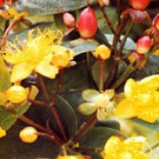 'Elstead' is a semi-evergreen or deciduous shrub with ovate, dark-green leaves.  It bears clusters of star-shaped yellow flowers in summer and autumn followed by showy bright red fruits. Hypericum x inodorum 'Elstead' added by Shoot)