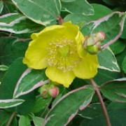 'Tricolor' is a small spreading deciduous shrub with arching red stems, variegated mid-green, cream and pink leaves and cheerful yellow flowers in summer and autumn. It is often used as a medicinal herb. Hypericum x moserianum 'Tricolor' added by Shoot)