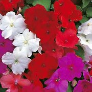 Super Elfin Series have with single flowers in shades of pink, orange, red and purple. Impatiens walleriana Super Elfin Series added by Shoot)