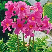 Incarvillea delavayi added by Shoot)