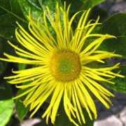 Inula hookeri added by Shoot)