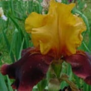 is hardy, large bulbous perennial with green foliage and bold, silky maghogany and golden yellow flowers in summer. Iris 'Supreme Sultan' added by Shoot)