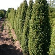'Hibernica' is a large, dense, evergreen, coniferous shrub with erect branches and a columnar habit.  It bears needle-like, grey-green foliage. Juniperus communis 'Hibernica' added by Shoot)