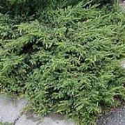 'Repanda' is an evergreen, coniferous, shrub with a prostrate habit forming a low, dense carpet. Its needle-like, dark-green foliage is tinged bronze in winter. Juniperus communis 'Repanda' added by Shoot)