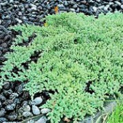 'Nana' is a dense, evergreen, coniferous, compact shrub with a mat-forming habit. Its dense, prickly foliage is grey-green. Juniperus procumbens 'Nana' added by Shoot)