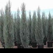'Skyrocket' is a narrow, tall evergreen conifer with grey-blue foliage. Juniperus scopulorum 'Sky Rocket' added by Shoot)
