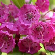 Kalmia angustifolia added by Shoot)