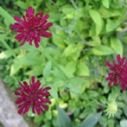 'Mars Midget' is a dwarf herbaceous perennial with simple or lobed stem leaves and a profusion of dark red flowersheads in mid-summer. Knautia macedonica 'Mars Midget' added by Shoot)