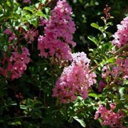 Lagerstroemia indica added by Shoot)
