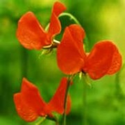 'Henry Eckford' is a climbing annual with strongly fragrant, bright orange flowers from early summer to early autumn. Lathyrus 'Henry Eckford' added by Shoot)