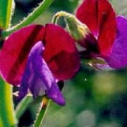 'Matucana' is a climbing annual with strongly fragrant, purple and violet blue bi-colour flowers from early summer to early autumn. Lathyrus 'Matucana' added by Shoot)