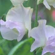'Alaska Blue' is a climbing annual with strongly fragrant, white flowers, flushed with pale violet-blue, from early summer to early autumn. Lathyrus odoratus 'Alaska Blue' added by Shoot)