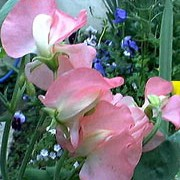 'Florencecourt' is an annual that climbs with the use of tendrils.  It has greyish-green leaves and in summer and autumn, bears only lightly fragrant, salmon pink flowers that fade to cream at the centre. Lathyrus odoratus 'Florencecourt' added by Shoot)