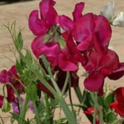 'Heartbeat' is a vigorous annual that climbs with the use of tendrils.  It has greyish-green leaves and in summer and autumn, bears relatively large, heavily-scented, dark red flowers. Lathyrus odoratus 'Heartbeat' added by Shoot)