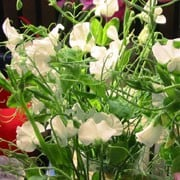 'Jilly' is a vigorous annual that climbs with the use of tendrils.  It has greyish-green leaves and in summer and autumn, bears relatively large, scented cream flowers that have slightly ruffled petals. Lathyrus odoratus 'Jilly' added by Shoot)
