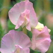 'Southbourne' is a vigorous annual that climbs using tendrils.  It has greyish-green leaves and in summer and autumn, bears fragrant, pale-pink flowers that fade to white in the centre. Lathyrus odoratus 'Southbourne' added by Shoot)
