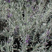 'Richard Gray' is a compact, evergreen shrub with relatively broad, silvery-grey foliage.  In summer it bears fragrant spikes of deep-purple flowers. Lavandula 'Richard Gray' added by Shoot)
