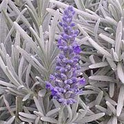 'Sawyers' is a bushy, evergreen shrub with linear, silvery grey-green leaves.  In mid-summer it bears fragrant spikes of light-purple flowers. Lavandula 'Sawyers' added by Shoot)