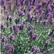 'Imperial Gem' has narrow grey-green leaves and spikes of aromatic deep-purple flowers. Lavandula angustifolia 'Imperial Gem' added by Shoot)