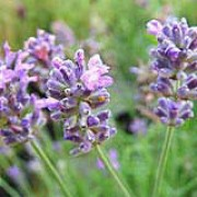 'Miss Muffet' is a dwarf, evergreen shrub with narrow, grey-green leaves.  In summer it bears spikes of fragrant, violet-blue flowers. Lavandula angustifolia 'Miss Muffet' added by Shoot)