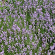 'Munstead' forms fragrant, dense mounds of aromatic, grey-green leaves and blue-purple summer flower spikes in late summer. Lavandula angustifolia 'Munstead' added by Shoot)