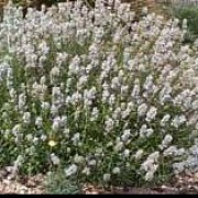 'Nana Alba' is a compact shrub, with narrow grey leaves and tiny white flowers on short spikes . Lavandula angustifolia 'Nana Alba' added by Shoot)