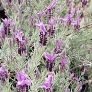 'Willow Vale' is a vigorous, upright, evergreen shrub with narrow, yellow-green leaves.  In summer it bears dense spikes of deep-violet flowers with reddish-purple bracts. Lavandula stoechas 'Willow Vale' added by Shoot)