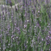 'Arabian Night' is a bushy, evergreen shrub with grey-green foliage.  In summer it bears spikes of fragrant, dark blue-purple flowers. Lavandula x intermedia 'Arabian Night' added by Shoot)