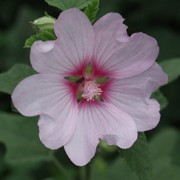 'Barnsley' is a large shrub-like plant, good for the back of a flower border.  It produces good-sized blooms that are coloured light pink with a red-eye.  Many blooms per plant. Lavatera 'Barnsley' added by Shoot)