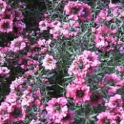 'Red Damask' is a dense, mid-sized, evergreen shrub with narrow, dark-green leaves.  From late spring to summer it bears deep-red, fully double flowers very freely. Leptospermum scoparium 'Red Damask' added by Shoot)