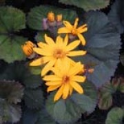 Ligularia dentata 'Desdemona' added by Shoot)