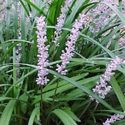 Liriope muscari added by Shoot)