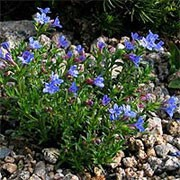 'Heavenly Blue' is a low, mat-forming evergreen shrub, bearing small, hairy leaves and abundant, small, bright blue flowers in spring and summer. Lithodora diffusa 'Heavenly Blue' added by Shoot)