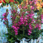 Lobelia X Speciosa Fan Orchidrosa Fan Orchid Rose Deep Rose Care