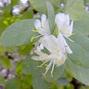 Lonicera fragrantissima added by Shoot)