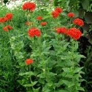 Lychnis chalcedonica added by Shoot)