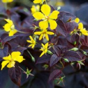 'Firecracker' is an herbaceous perennial with deep, purple, lance shaped leaves.  In summer, it bears clusters of yellow, nodding, star-shaped flowers on upright, leafy stems. Lysimachia ciliata 'Firecracker' added by Shoot)