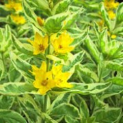 'Alexander' is a clump-forming perennial with variegated sage-green and cream foliage and rigid, upright stems bearing whorls of sunny yellow flowers in summer. Lysimachia punctata 'Alexander' added by Shoot)