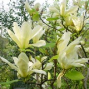Magnolia 'Elizabeth' added by Shoot)