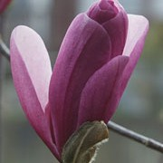 'Galaxy' is a small, conical, deciduous tree, grown for its large, purple-pink flowers that open on bare stems from darker buds in spring. Magnolia 'Galaxy' added by Shoot)