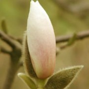 'Sayonara' is a large deciduous shrub or tree grown for its large, fragrant, purple-tinged, creamy-white flowers that appear in spring. Magnolia 'Sayonara' added by Shoot)