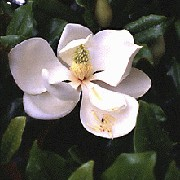 Magnolia grandiflora added by Shoot)