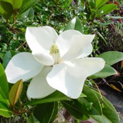 Magnolia grandiflora 'Exmouth' added by Shoot)