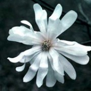 Magnolia stellata 'Royal Star' added by Shoot)