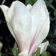'Brozzonii' is a large, deciduous shrub of spreading habit, grown for its large, purple-tinted, white flowers on bare stems in spring. Magnolia x soulangeana 'Brozzonii' added by Shoot)