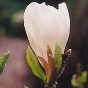 'Lennei Alba' is a large deciduous shrub of spreading habit, grown for its large, white, fragrant, cup-shaped flowers on bare stems in spring. Magnolia x soulangeana 'Lennei Alba' added by Shoot)