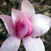 Magnolia x soulangeana 'Star Wars' added by Shoot)
