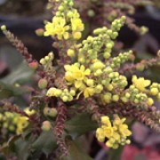 Mahonia aquifolium added by Shoot)