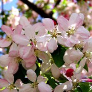 Malus floribunda added by Shoot)